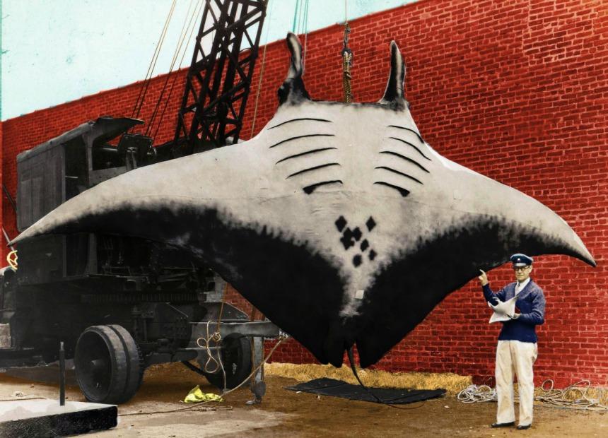 Giant Manta Devil Fish 1933. Click to big up
