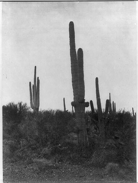 Cereus giganteus, Arizona 1871. When images like this made it back to the East Coast, they were a magic portal to the exotic West that many could not imagine.