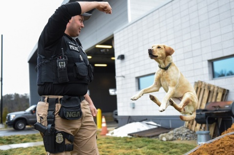Clara, a 3-year-old female yellow Labrador retriever, is known as NGA's residential high jumper. When Clara first met her partner, Officer Mike Muten, she was so excited, she tried to jump over her kennel wall at ATF