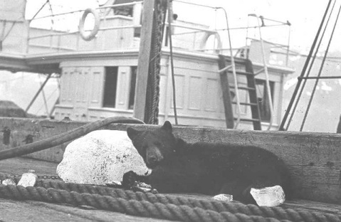 Probably the largest mascot that ever served in the Coast Guard. Here is an unnamed black bear, another mascot of the cutter Thetis, taking a break from duty-- sleeping on a block of ice