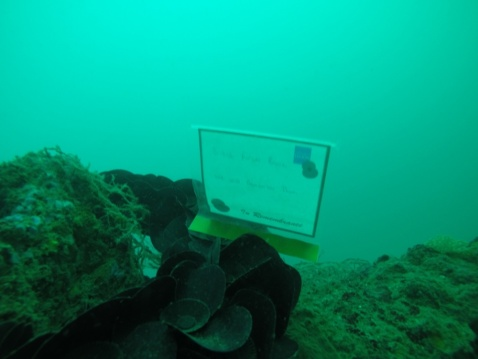 USS SALUTE (November 16, 2016) U.S. Navy Divers attached to Mobile Diving and Salve Unit ONE place a memorial plaque at the wreckage site of USS Salute (AM-294) which sank in Brunei waters on June 7, 1945, during Cooperation Afloat Readiness and Training (CARAT) Brunei 2016, Nov. 16. (U.S. Navy photo by Lt. Chris Price/RELEASED)