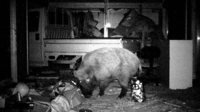 Wild, radioactive boars? Check! 0.6 guns per every 100 Japanese? Check! (Photo: Kyodo/AP via Outside online)